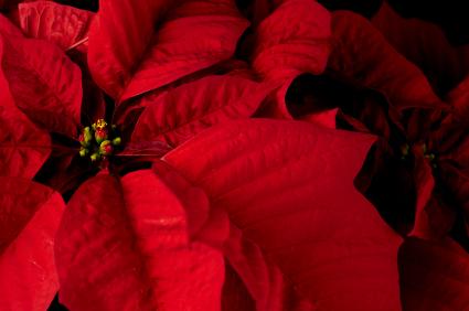 Happy Poinsettia Day! - December 12
